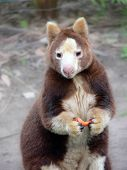 picture of tammar wallaby  - Tree Kangaroo - JPG