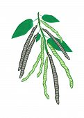 Delicious Fresh Mung Beans On A Plant