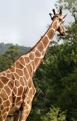 Giraffe Looking Above Trees poster