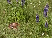 Fawn Sleeping in Wildflowers