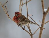 Purple Finch with a mouth (beak) full of seeds.