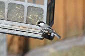 picture of chickadee  - Black - JPG