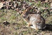 Rabbit, Eastern Cottontail