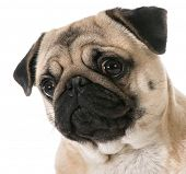 stock photo of pug  - pug head portrait isolated on white background - JPG