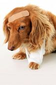 Dachshund dog wearing a bandage and band aid.