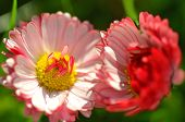 closeup of beautiful red daisies on a meadow