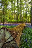 Felled tree in a bluebell wood 2