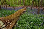 Felled tree in a bluebell wood 3