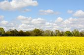Field Of Bright Yellow Oilseed Rape