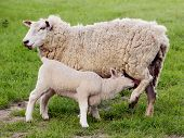 image of teats  - Young lamb suckling at the teat of its mother in a green field - JPG