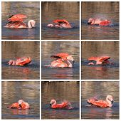 Collage Of Flamingo