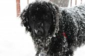 foto of newfoundland puppy  - Black Newfoundland staring back out of the fresh snow.