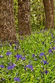 Trees with Camas blue purple wildflowers