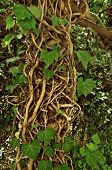 Large cluster of crawling Ivy vine with exposed roots