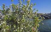 picture of leopold  - Apple blossom on the banks of the Seine in Paris - JPG