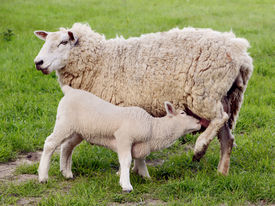 pic of teats  - Young lamb suckling at the teat of its mother in a green field - JPG