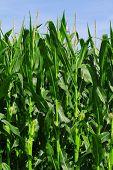 Green corn field growing up on blue sky