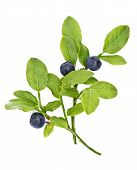 Ripe Bilberries On Twig And Egg On White Background