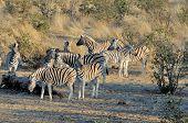 foto of moringa  - Zebras at sunrise at Moringa waterhole Etosha National Park Namibia - JPG
