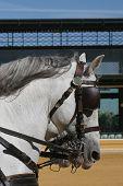 Cartujano Horses