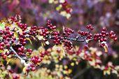 hawthorn in a garden