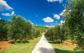 Olive Alley Leading To The Farmhouse In Tuscany, Italy