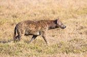 Hyena walks alone in Africa