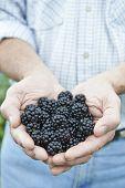 Close Up Of Man Holding Freshly Picked Blackberries