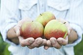 Close Up Of Man Holding Freshly Picked Apples
