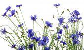blue cornflowers on white background