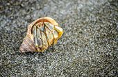 pic of hermit  - on the beaches of the pacific you can find a small creature dwelling here - JPG