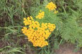 Flowering tansy