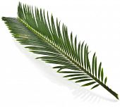 Single Green leaf of palm tree close up isolate on white background