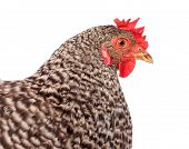 Speckled Chicken Portrait