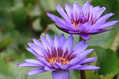 stock photo of lily  - Water Lily flowers - JPG