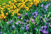 Spring Variegated Crocuses (macro)