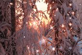 Magic Snowy Forest In Pink Sparks And Flares