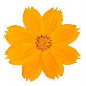 Yellow Singapore Daisy Wildflower Isolated