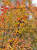 image of chokeberry  - branch chokeberry with autumn leaves close up - JPG