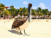 Brown Pelican On Mexican Beach