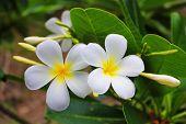 Couple white flower