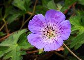 stock photo of geranium  - Purple perennial geranium flower  - JPG