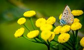 Blue butterfly on yellow flowers
