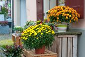 Beautiful chrysanthemums in pots, outdoors