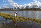 Swan on the shore of a canal in winter
