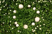 Fairy Ring Mushrooms In A Meadow