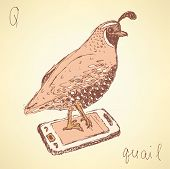 Sketch Fancy Quail In Vintage Style