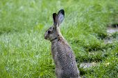 picture of hare  - jackrabbit - JPG