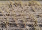 image of dune grass  - European marram grass or beach grass  - JPG