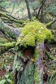 Rotten old tree covered with moss.